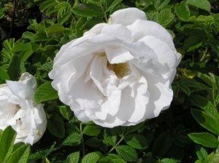 Rosa Rugosa V Henry Hudson 10 Seeds