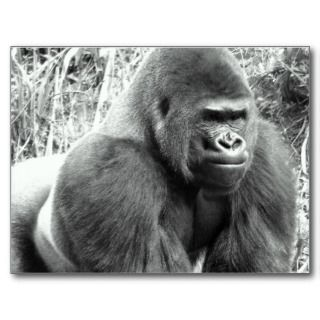 Gorilla in Black and White Post Card