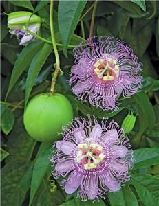 Purple Passionfruit Flower Seeds * Seed Packets & Directions Shipped