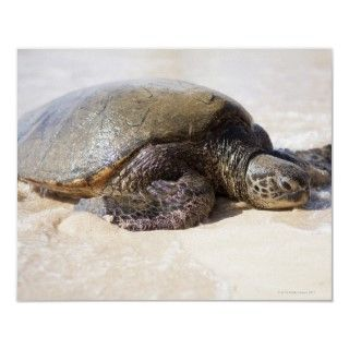 Green sea turtle Chelonia mydas) on the beach in Print