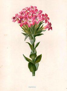Crassula Flower 1879 Antique Original Print Hulme