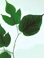Red Mulberry 2 ft Hardy Fast Growing Fruit Tree for Home Garden