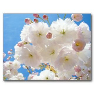 Spring Blossoms Pink Tree Flowers post cards