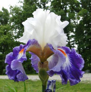 Bearded GYPSY LORD Iris RED WHITE & BLUE 06 Perennial Plant Rhizome
