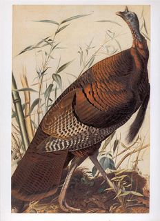 John James Audubon Bird Print Wild Turkey