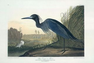 John James Audubon Bird Print Blue Crane or Heron