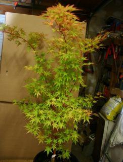 Sango Kaku Coral Bark Japanese Maple Acer Palmatum Tree