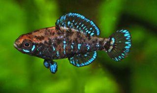 Pygmy Sunfish Live Fish RARE Freshwater Fish Aquarium Fish Tank