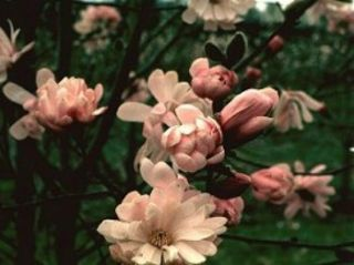 Pink Stardust Japanese Magnolia or Tulip Tree Light Pink Flowers
