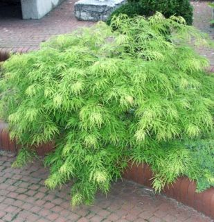 JAPONICUM GREEN CASCADE 25 SEEDS, JAPANESE MAPLE, BONSAI, SHADE TREE